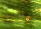 IMGP1087 Uciekające sarny.jpg